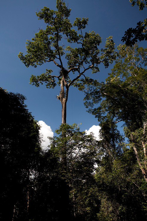 Parauapebas_PA, Brasil...Floresta Nacional de Carajas. Castanheira (Bertholletia excelsa) na floresta amazonica, Para...The Carajas National Forest. The Brazil nut tree (Bertholletia excelsa) in the Amazon rain forest, Para...Foto: JOAO MARCOS ROSA / NITRO