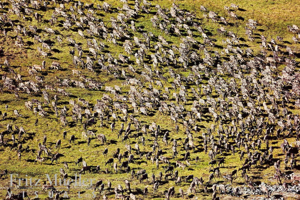 Porcupine caribou herd migration across North Yukon