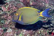 Eyestripe Surgeonfish.(Acanthurus dussumieri).Hawaii