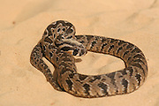 Israel, Vipera palaestinae is a venomous viper species found in Syria, Jordan, Israel and Lebanon September 2008