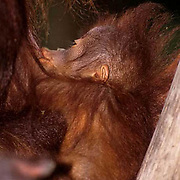Orangutan, (Pongo pygmaeus) Portrait of mother and baby in rain forest, nursing. Northern Borneo.Malaysia. Controlled Conditons.