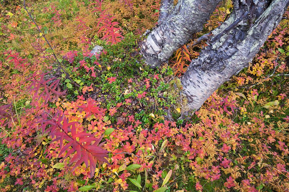 Mountain birch, Betula pubescens var. tortuosa and  Dwarf cornel or bunchberry, Cornus suecica, Abisko National Park, Norrbotten, Lapland, Sweden