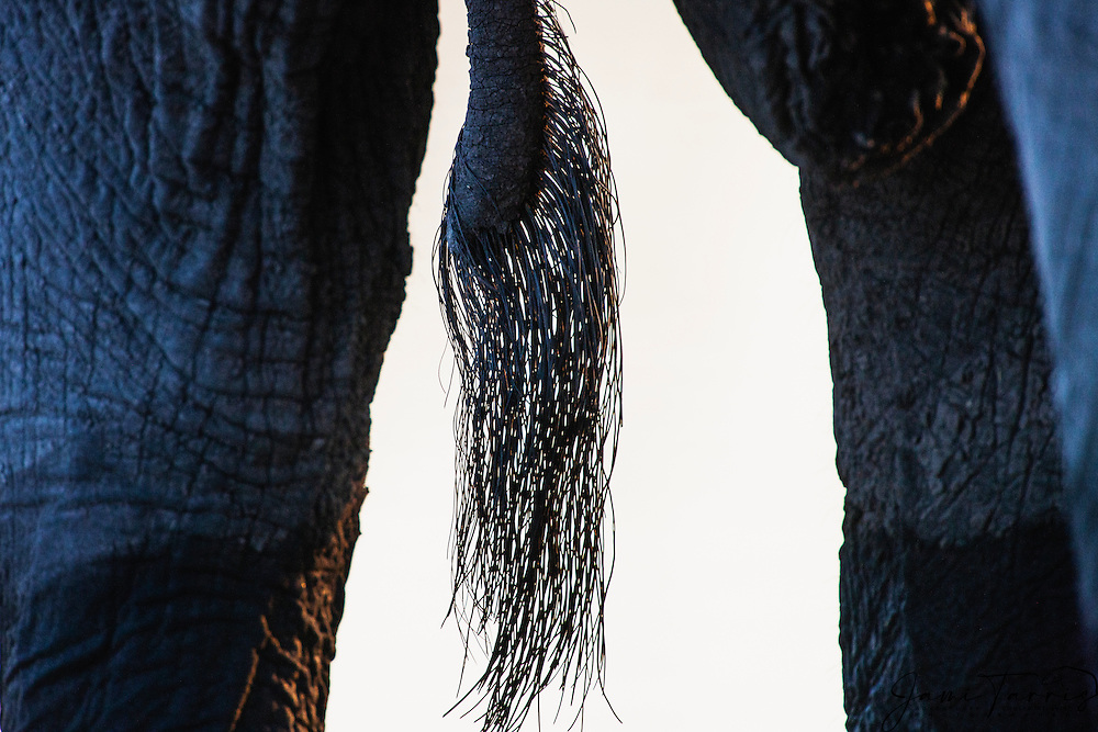 A close-up of an African tail (Loxodonta africana), Moremi Game Reserve, Botswana,Africa
