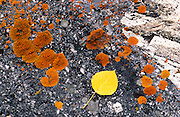 Aspen leaf on lichen covered rock, San Juan Mountains, Uncompahgre National Forest, Colorado