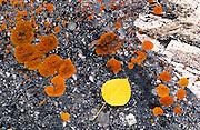 Aspen leaf on lichen covered rock, San Juan Mountains, Uncompahgre National Forest, Colorado