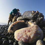 Researchers examining humpback whale calf (Megaptera novaeangliae) that washed ashore on 3 January 2012 in Odawara, Japan. Measured 6.87 meters long and was male. Cause of death unknown. This humpback whale calf is the third smallest one recorded to date that has stranded or washed ashore in Japan. It is the third deceased calf to have been found in the 2011-2012 breeding and calving season.