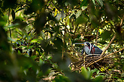 A nesting Agami heron ( Agamia agama ). Bladen Nature Reserve, Belize.