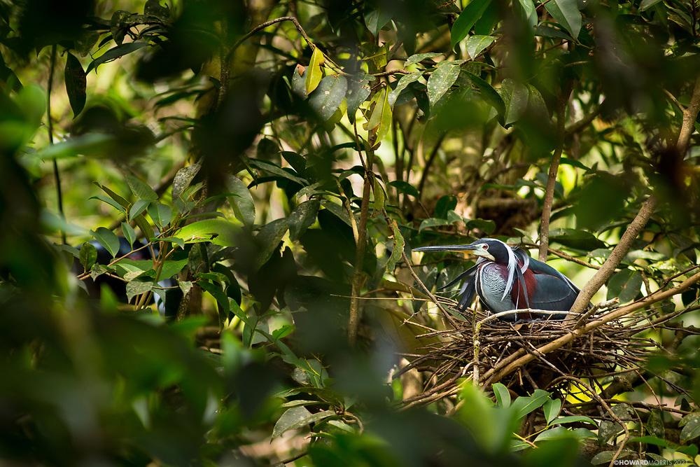 A nesting Agami heron ( Agamia agama ). Bladen Nature Reserve, Belize.