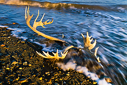 Caribou antler in Beaufort Sea surf, Herschel Island