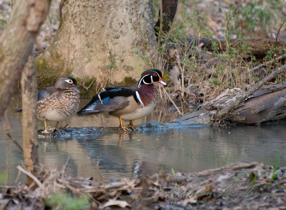 A beautiful pair of Wood Ducks at Radnor Lake in Nashville, TN. I could watch these graceful birds all day.