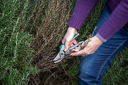 Removing dead growth from a rosemary bush. Rosmarinus officinalis