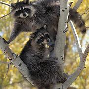 Raccoon, (Procyon lotor) Pair in tree. Fall. Montana. Captive Animal.