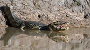 Caiman (Caiman yacare) in Cuiaba River, Porto Jofre, Pantanal, Brazil.