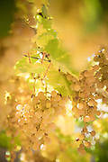 Close up of grapes on summer day, Elqui Valley, Chile