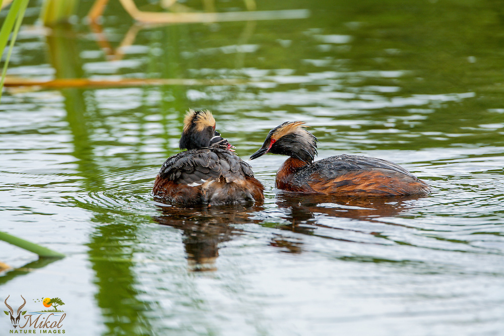 Horned Grebe with Chick on back getting fed