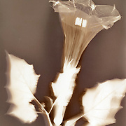 """Lumen print of Datura wrightii, Tucson, Arizona. Available to license and as limited edition archival 20""""x24"""" prints."""