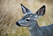 A black tailed deer (mule deer) in a meadow in Yosemite Valley, Yosemite National Park, California