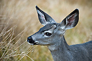 A black tailed deer (mule deer) in a meadow in Yosemite Valley, Yosemite National Park, California