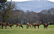 A herd of Deer pictured at Killarney Golf Club near Killarney National Park.<br /> Photo Don MacMonagle