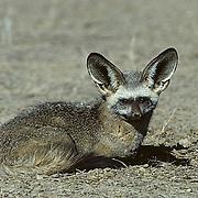 Bat-eared Fox, (Otocyon megalotis) Resting in Kalahari Desert. Africa.