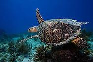 Florida Keys underwater hawks bill turtle