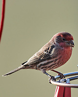 House Finch (Haemorhous mexicanus). Image taken with a Nikon D800 camera and 600 mm f/4 VR lens.