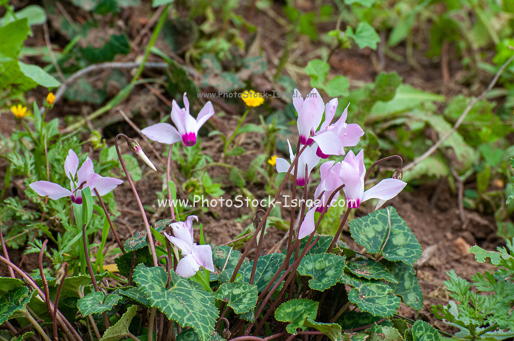 wild Cyclamen persicum, the Persian cyclamen, blooming in a private garden. Due to rural urbanization the natural habitat of this plant (and others) is threatened. Bulbs and plants from the construction sites are transferred to private gardens Photographed in Tel Aviv Israel in February