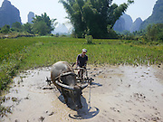 China, Yangshuo town Farmer plowing rice paddy with water buffalo