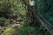 Living bridge or Root bridge (Ficus elastica) & Khasi woman<br /> Khasi Tribe<br /> Nongriat, Khasi Hills<br /> Meghalaya, ne India<br /> Range: South China, NE India, Burma