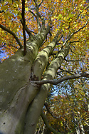 Mature autumn Beech - Fagus sylvatica, Stoke Wood, Oxfordshire.