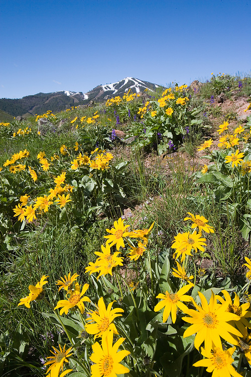 Yellow Balsamroot Flowers blooming on rolling hills a base of Sun Valley Resort's Snow Capped Baldy Mountain in Central Idaho in early summer.  Licensing and Open Edition Prints.