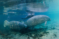 Florida manatee, Trichechus manatus latirostris, a subspecies of the West Indian manatee, endangered. February 29, 2008, rare series of the documented first day of a newborn male manatee calf that takes place out front of Three Sisters in the shallow waters in front of the manatee sanctuary. The rare event begins about an hour after sunrise. No other people, besides myself, came for almost an hour so this depicts natural manatee behaviors. It was an unusually cold, late winter morning. The newborn male calf is between the escort female, furthest away with flippers only seen, and the mother who is helping to push the infant to the surface. There is a curious male manatee swimming fast, following the mother. Horizontal orientation with mixing blue, aqua and green waters, lit by rainbow sun rays. Three Sisters Springs, Crystal River National Wildlife Refuge, Kings Bay, Crystal River, Citrus County, Florida USA.