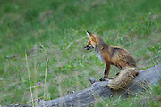 Red fox in spring