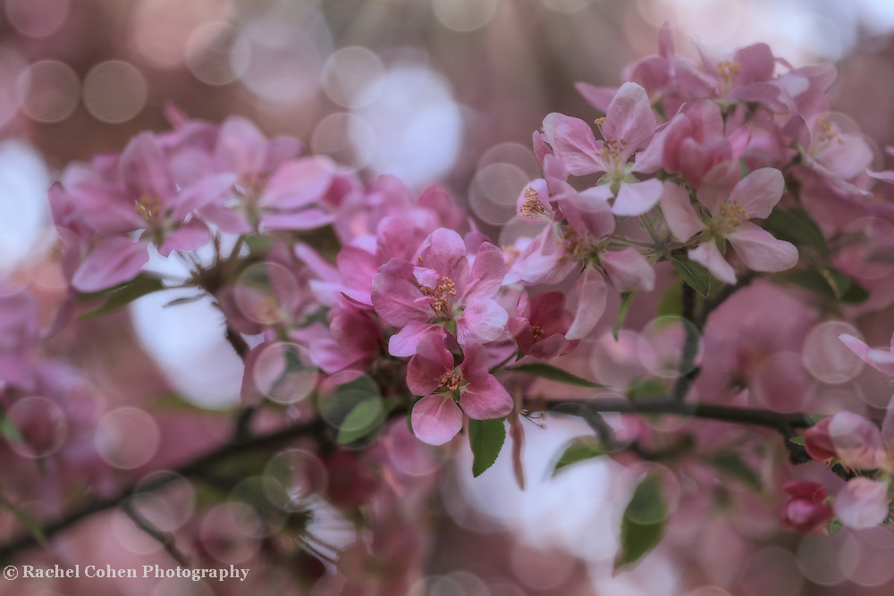 """""""Dance of the Fairies""""<br /> <br /> A magical and enchanting spring photo of pink blossoms and sunlight dancing throughout the image!"""