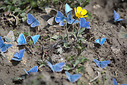 Male adonis blue butterflies feeding on salts. Dorset, UK.