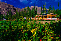 Sunflowers, Uletopko Camp, Ladakh;  Jammu and Kashmir State, India.