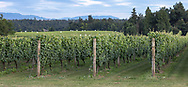 Grape vines in the vineyard at the Mount Lehman Winery in Abbotsford, British Columbia, Canada