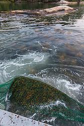 Rockweed In Net