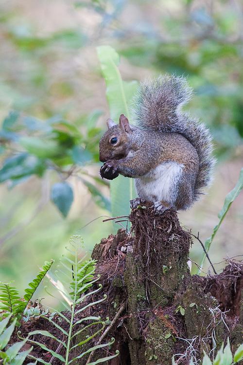 Squirrel eating. Corkscrew Swamp Sanctuary, National Audubon Society, Naples, Florida.