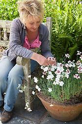 Carol Klein deadheading Dianthus 'Glebe Cottage White'