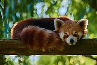 one red Panda bear on tree stomp Bifengxia base reserve Sichuan China