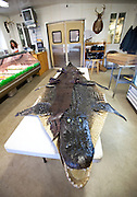 Workers at Cordray's Taxidermy in Ravenel, SC prepare a 12-foot alligator for processing after it was brought in by a hunter during the 3-week long alligator hunting season September 27, 2009. About 300 alligators are taken during the short season out of an estimated 150,000 alligators in SC waters. (photo by Richard Ellis)