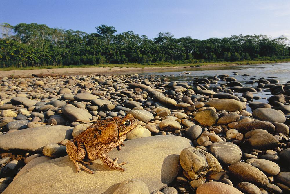 Toad<br />Bufo marinus<br />Bocamishagua River<br />Amazon Rain Forest. PERU.  South America