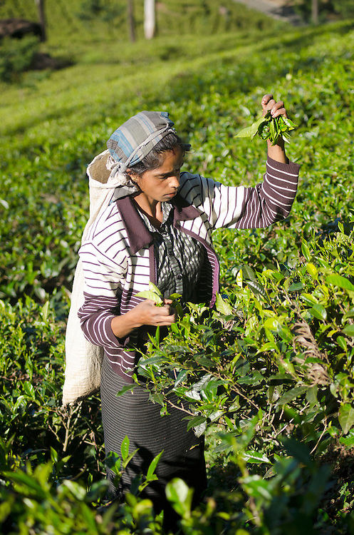 A tea plucker on the Mackwoods tea estate near Nuwara Eliya, Sri Lanka