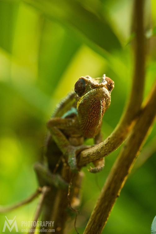 Chameleon on a branch.