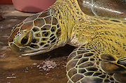 Green Sea Turtle (Chelonia mydas) Capture for annual monitoring<br /> MAR Alliance<br /> Lighthouse Reef Atoll<br /> Belize<br /> Central America