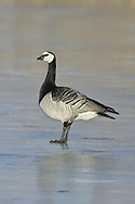 Barnacle Goose Branta leucopsis L 58-69cm. Small, well-marked goose seen in large, noisy flocks. All birds have black legs and bill. Looks strikingly black-and-white in flight. Sexes are similar. Adult has mainly white face with black line from bill to eye; black crown and nape merge with black neck and breast. Belly is whitish grey with faint dark barring on flanks; back is grey with well-defined black and white barring. Stern is white while tail is black. Juvenile is similar to adult but white elements of plumage are often tinged yellow and barring on back is less well defined. Voice Utters loud, barking calls. Status Winter visitor to coastal farmland and saltmarshes.
