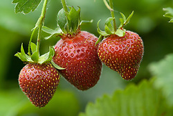 Strawberry 'Florence' - Fragaria