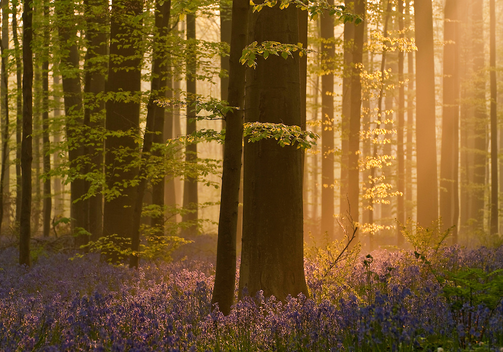 Dawn light in Hallerbos forest; bluebells Hyacinthoides non-scripta in the foreground, Belgium