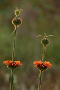 Orange flower & seedhead, backlight, Isalo National Park, Madagascar